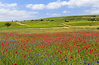 France, Cher (18), Berry, région du Sancerrois, Bué, champ de colza et plantes adventices, coquelicots et bleuets