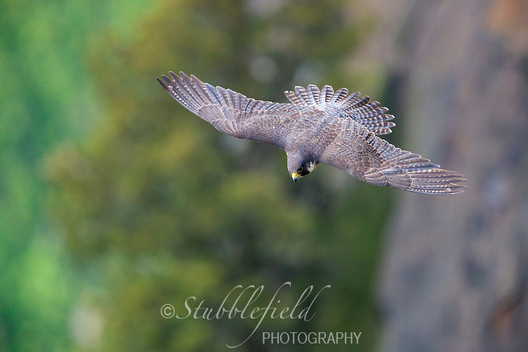 Peregrine Falcon (Falco peregrinus anatum), North American subspecies, female in flight at State Line Lookout, Palisades Interstate Park, Closter, New Jersey.