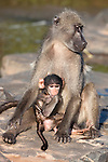 Chacma baboon, Papio cynocephalus ursinus, with baby, Kruger National Park, South Africa