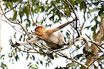 A young proboscis monkey is seen in a tree along the Kinabatangan River on Monday April 29th 2013 in Bilit, Malaysia. (Photo by Brian Garfinkel)
