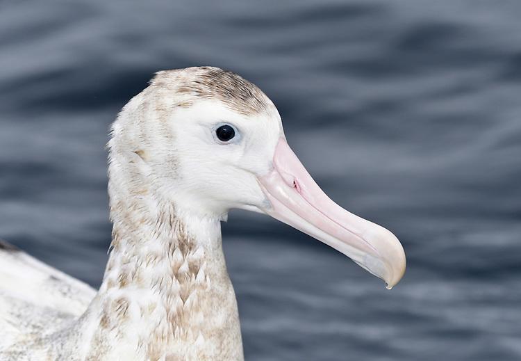 Antipodean Albatross - Diomedea antipodensis