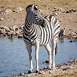 Zebra At A Waterhole.