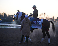 Ever Rider, trained by Juan Carlos Bianchi, trains for the Breeders' Cup Marathon at Santa Anita Park in Arcadia, California on October 30, 2013.