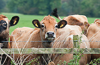Jersey cows looking over a hedge, Waddington, Lancashire.