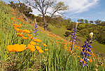 Poppies on the hillside with budding oaks, spring in the Mokelumne River Canyon, California,