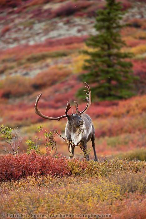 Bull caribou on the autumn colored tundra in Denali National Park.