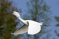 Snowy Egret - Egretta thula. Adult in breeding plumage calling