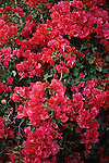 red Bougainvillea blossoms<br /> <br /> Bougainvillea flores rojos<br /> <br /> rote Bougainvillea Bl&uuml;ten<br /> <br /> Original: 35 mm slide transparency