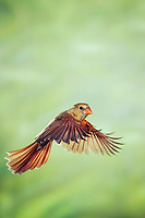 northern cardinal, Cardinalis cardinalis, female in flight, New Braunfels, Hill Country, Texas, USA, North America