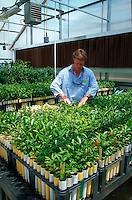 Researcher for U.S. Department of Agriculture examines experimental citrus plants in greenhouse