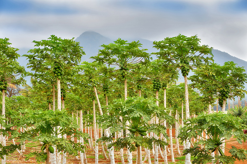 Papaya grove. Maui Tropical Plantation. Maui. Hawaii