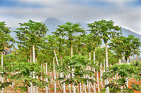 Papaya grove. Maui Tropical Plantation. Maui. Hawaii