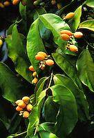 Gnetum seeds, a fruit from Indonesia, grown at Frankies nursery, Waimanalo, Oahu
