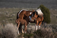A mustang mare nuzzles her one day old foal in South Steens in Oregon.<br /> This mare was proud of her newborn and showed no fear to show him off to me.
