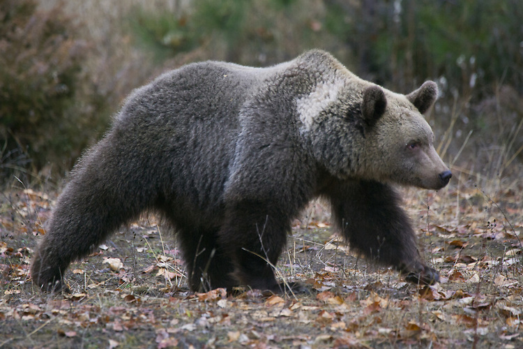 Grizzly Bear walking - CA