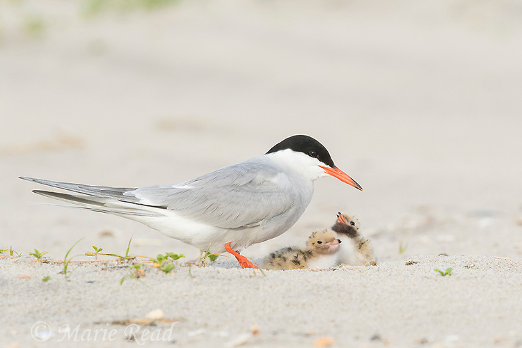 Common Tern (Sterna hirundo) with two chicks, Nickerson Beach, Long Island, New York, USA