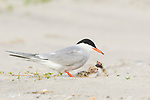 Common Tern (Sterna hirundo) with two chicks, Nickerson Beach, Long Island, New York, USA