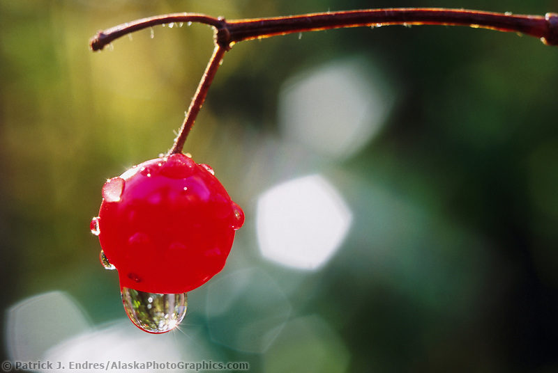 Rain drop hangs from a ripe, red highbush cranberry, Fairbanks, Alaska