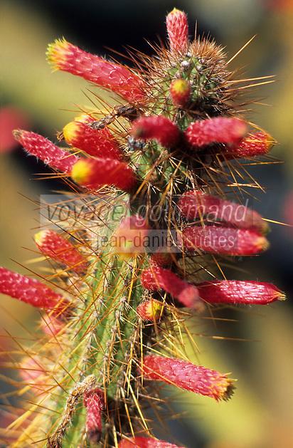 Europe/Espagne/Canaries/Lanzarote/Guatiza : Le jardin de cactus conçu par Cesar Manrique - Cleistocactus smaragdiflorus