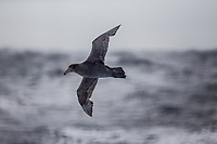 Southern Giant Petrel (Macronectes giganteus) in the Southern Ocean