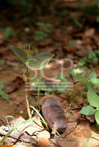 Amazonas State, Brazil. Seedling of Jatoba (Hymenaea courbaril) sprouting from the seed on the forest floor.