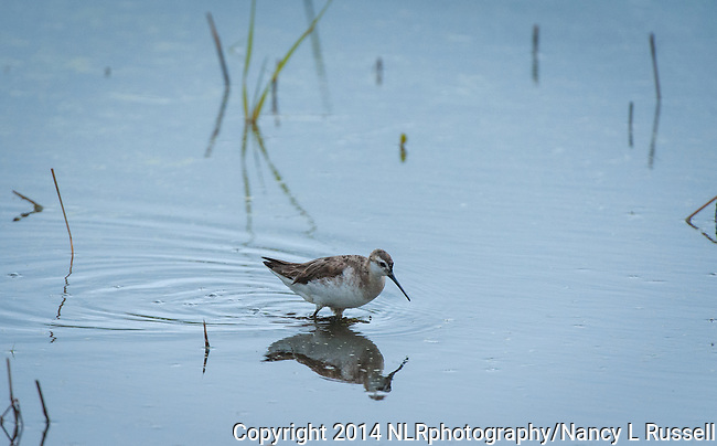 Wilson's Phalarope searching for food at Valencia wetlands