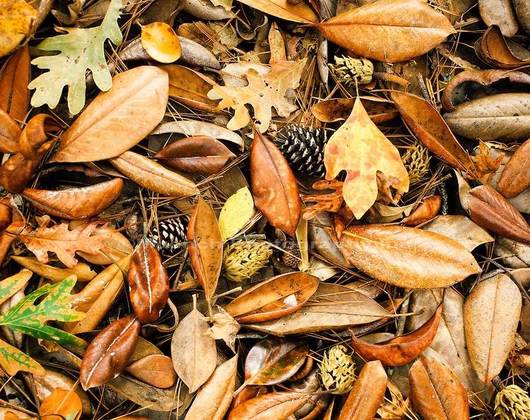 "Magnolia, Sassafras and  oak leaves, pine cones,  Turkey Creek Unit, Big Thicket N PRES  TEXAS"""