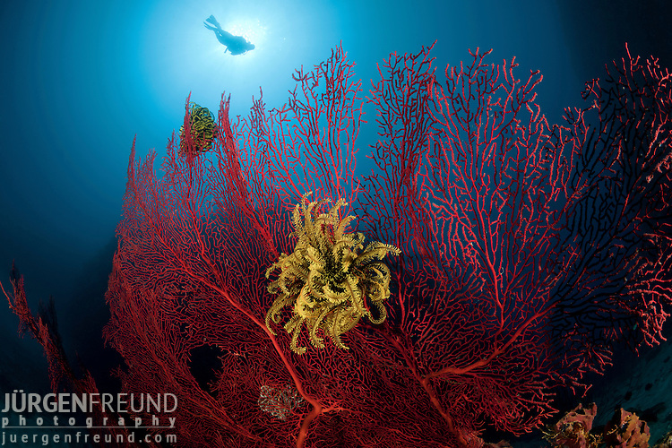 Gorgonian fan coral with crinoid and diver.