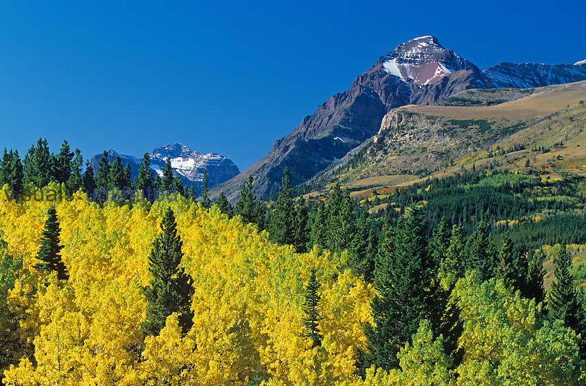 Clone of Quaking Aspen (Populus tremuloides) in fall colors with scattered Taiga or Coniferous Forest trees, Glacier National Park, Montana, USA.