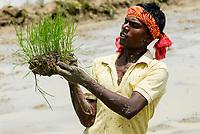 INDIA Westbengal, village Gandhiji Songha , SRI system of rice intensification, paddy cultivation, replanting of rice seedlings / INDIEN Westbengalen , Dorf Gandhiji Songha , Landwirtschaft, Anpassung an den Klimawandel, Verbesserung des Anbau durch SRI System zur Intensivierung des Reisanbau, Reissetzlinge