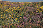 Heather and gorse heathland vegetation, Dunwich Heath, Suffolk, England
