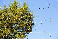 03536-05715 Monarch Butterflies (Danus plexippus) leaving roost in Eastern Red Cedar (Juniperus virginiana)  Prairie Ridge State Natural Area, Marion Co., IL