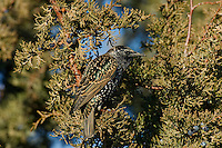 European Starling (Sturnus vulgaris) in juniper tree.  Western U.S.