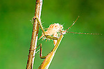 Praying mantis, Mantis religiosa with moth prey<br />