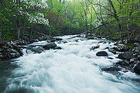 Spring dogwood and a heavy flow along Middle Prong, Tremont
