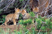 Three wild COYOTE pups check out the world from the dirt mound infront of their den.  Western U.S., June.