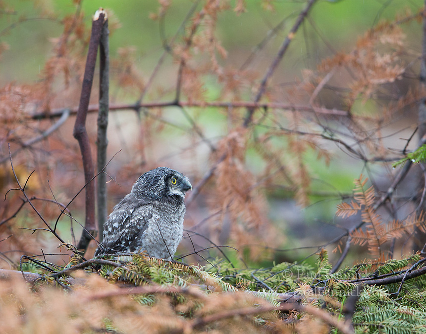 A fledgling Northern Hawk Owl looks for a tree to climb one day after fledging from the nest.