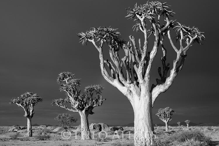 Namibia, Namib Desert, Dorob National Park, quiver trees (Aloe dichotoma) under dark sky, approaching rainstorm
