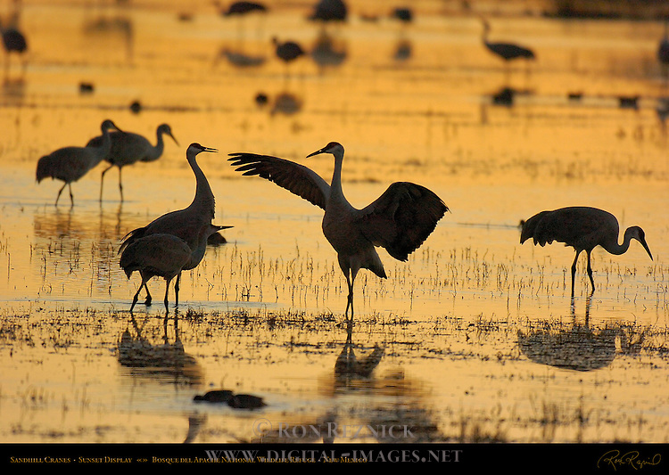 Sandhill Cranes Sunset Display, Bosque del Apache National Wildlife Refuge, New Mexico