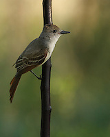 Eastern Phoebe at first light, part of the flycatcher family of birds.