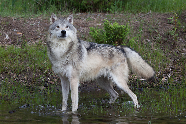 Grey Wolf at a pond - CA
