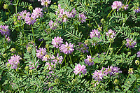 Bunte Kronwicke, Securigera varia, Coronilla varia, Trailing Crown Vetch