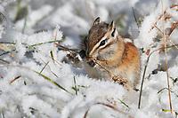 Colorado Chipmunk feeding in the snow