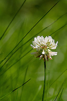 Clover {Trifolium repens}