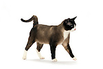 Snowshoe Cat - Male - Walking