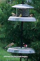 01640-02610 American Goldfinches (Carduelis tristis) & Rose-breasted Grosbeak at feeder, Marion Co.   IL