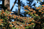 Cluster of monarch butterflies