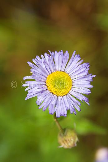 A Showy Daisy wildflower blossom
