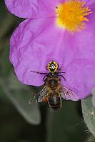 Südliche Glanz-Krabbenspinne, hat eine Biene erbeutet, Beute, Räuber-Beute-Beziehung, Südliche Glanzkrabbenspinne, Krabbenspinne, Synema globosum, Synaema globosum, red crab spider, prey, predator-prey relationship, Krabbenspinnen, Thomisidae, crab spiders