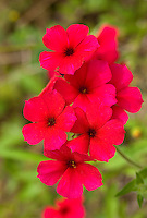 168210006 closeup of brilliant red drummonds phlox phlox drummondii wildflowers in de witt county texas